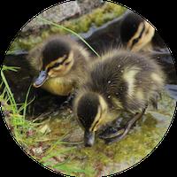 Baby Ducks 01
